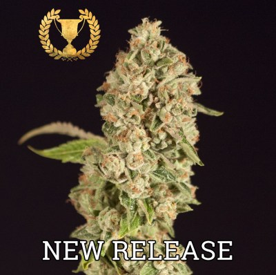 OG-Reekn-Feminized-by-The-Devils-Harvest-Seeds
