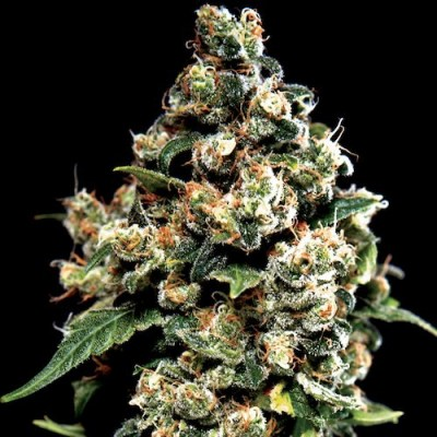 jack-herer-greenhouse