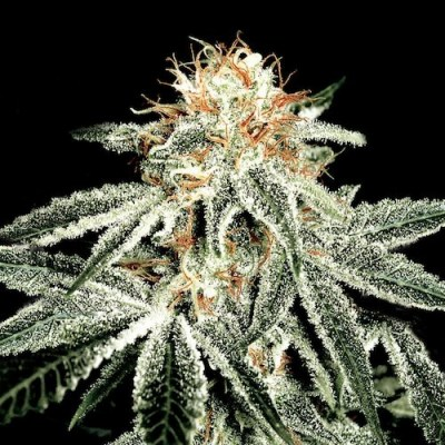 white-widow-greenhouse